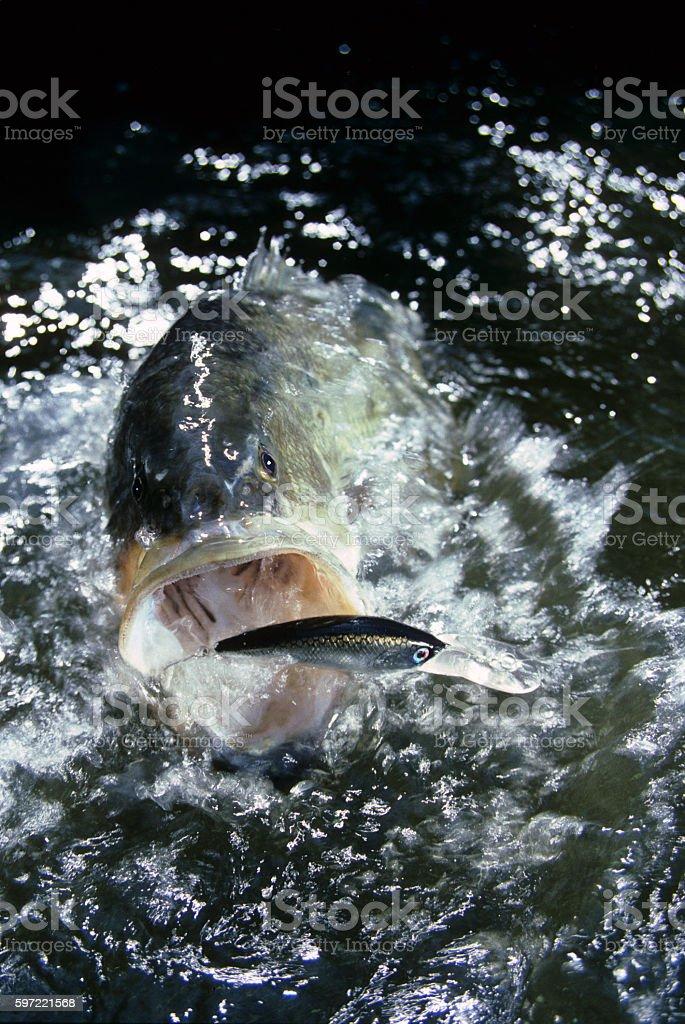 Largemouth Bass 4341 stock photo