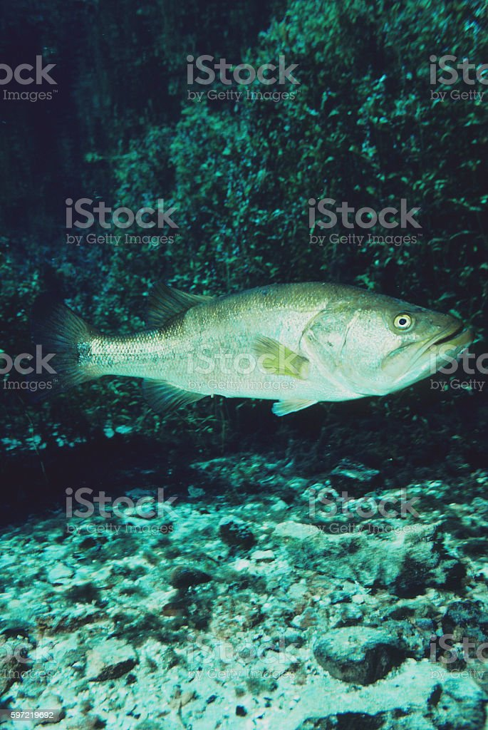 Largemouth Bass 444 stock photo
