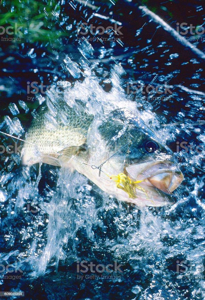 Largemouth Bass 7195 stock photo