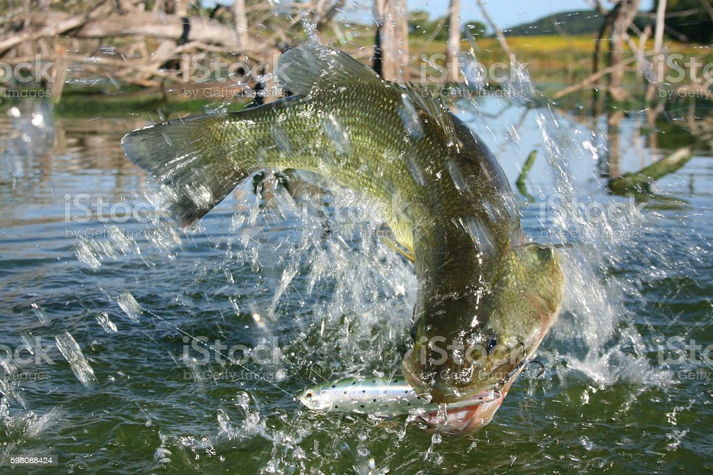 Largemouth Bass 7555 stock photo