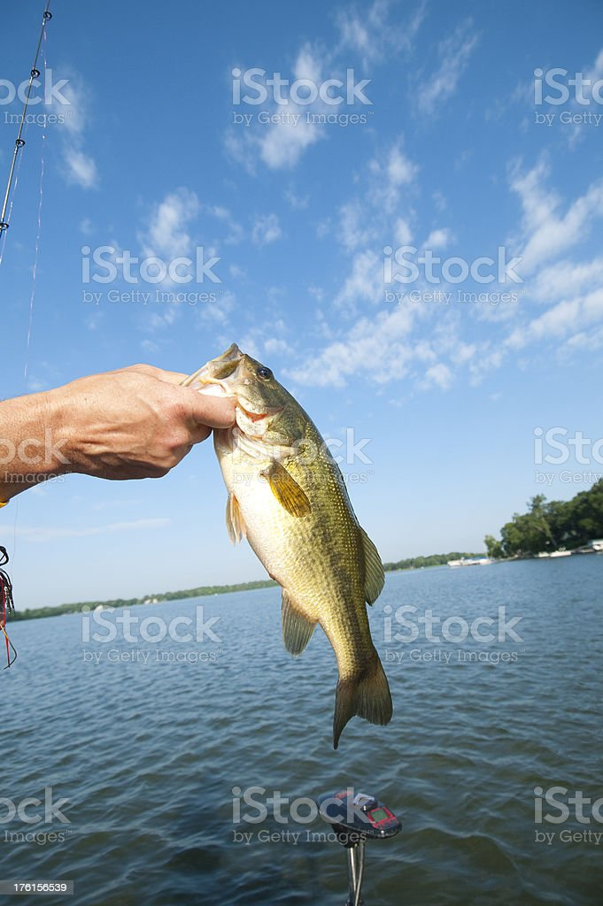 Largemouth Bass being landed by fisherman stock photo