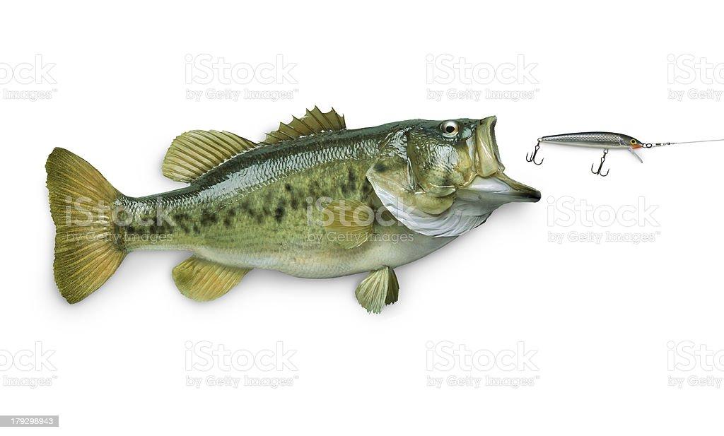 Largemouth bass chasing lure isolated on white stock photo