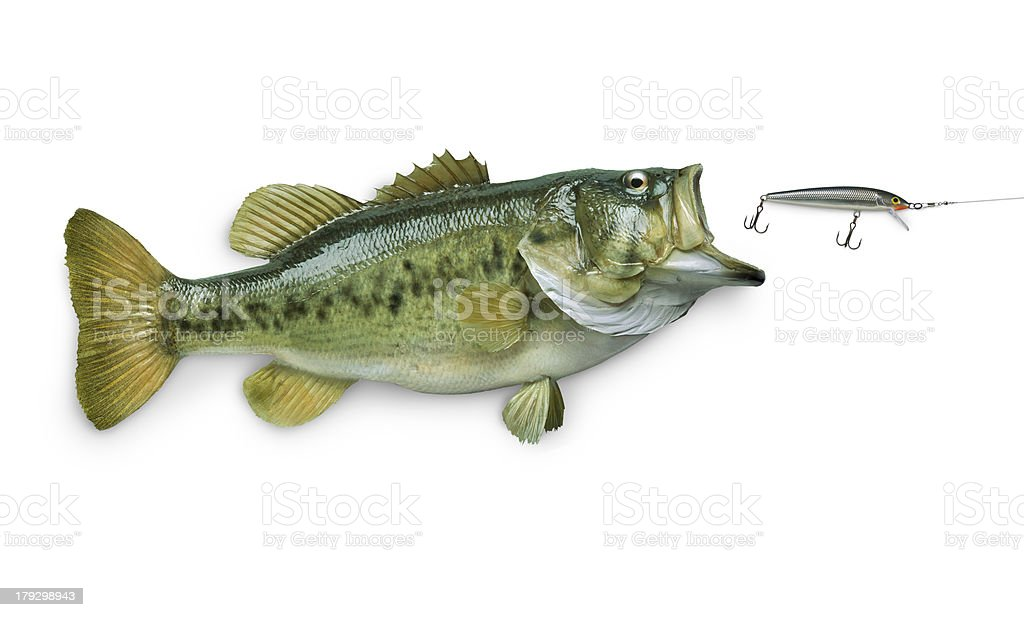 Largemouth bass chasing lure isolated on white stock photo