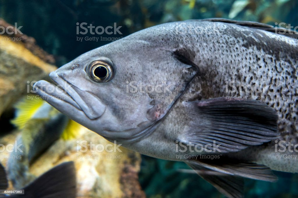 Largemouth bass (Micropterus salmoides) ,close up detail stock photo