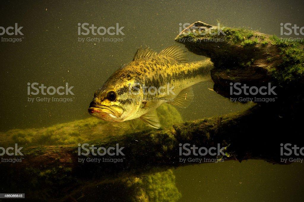 largemouth bass fish in lake stock photo