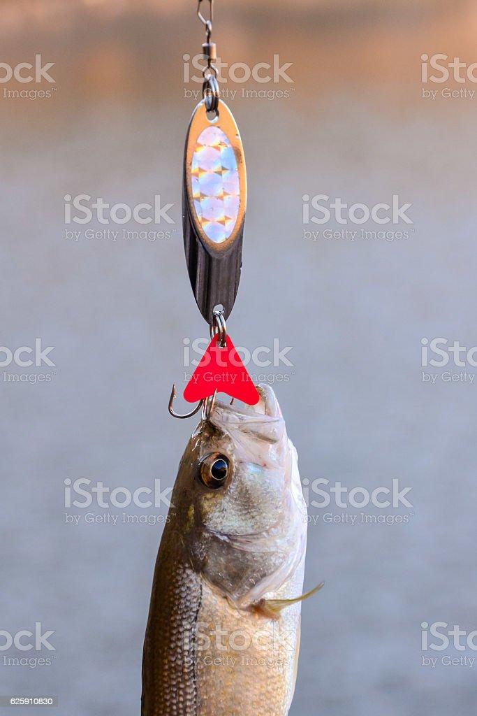 Largemouth Bass fish stock photo