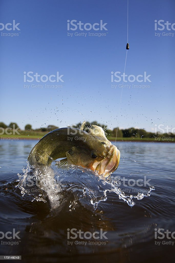 Largemouth Bass Jumping Out of the Water royalty-free stock photo