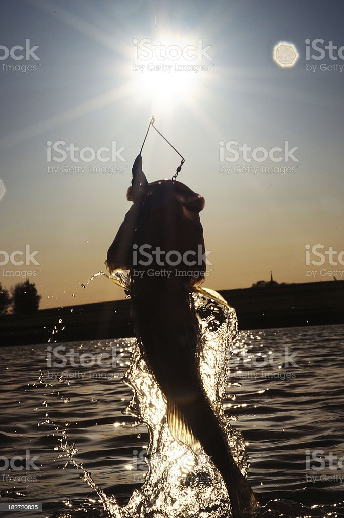 Largemouth Bass Jumping out of the Water stock photo
