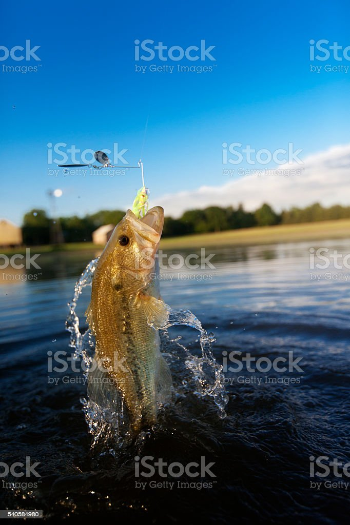 Largemouth Bass Jumping out of water stock photo