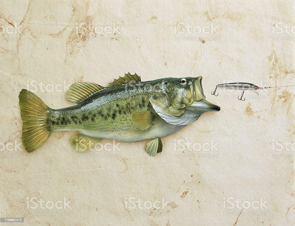 Largemouth bass on grunge background royalty-free stock photo