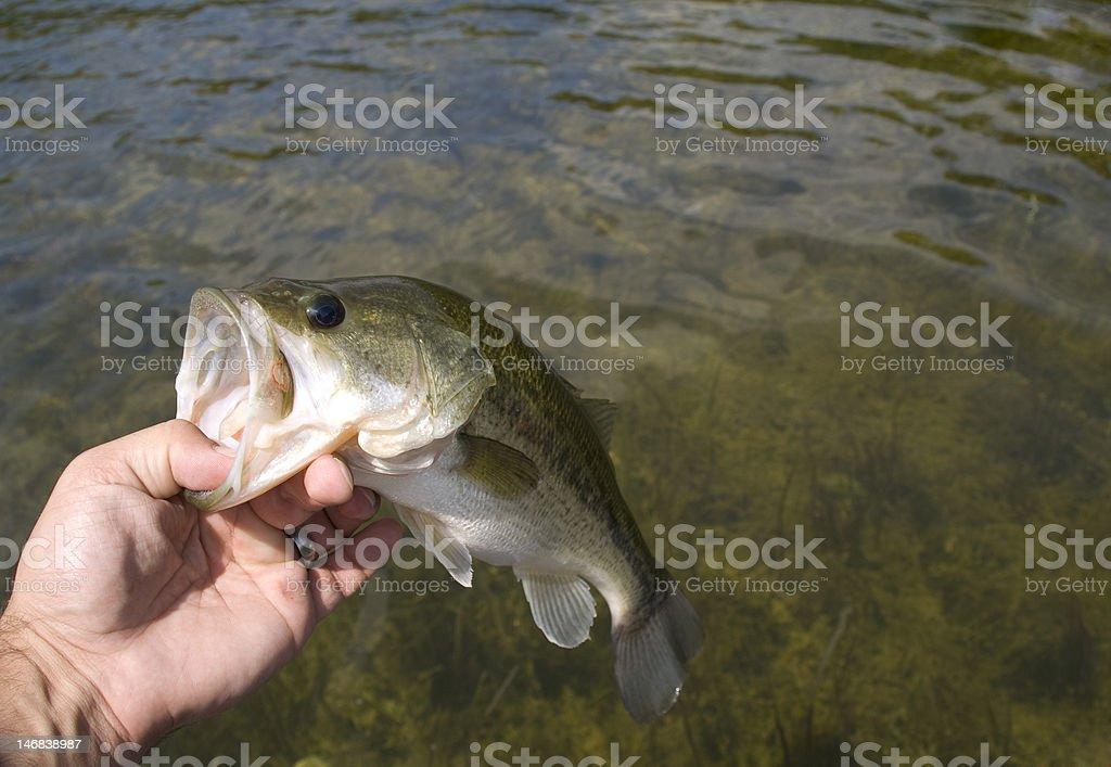 Largemouth Bass (side view) royalty-free stock photo