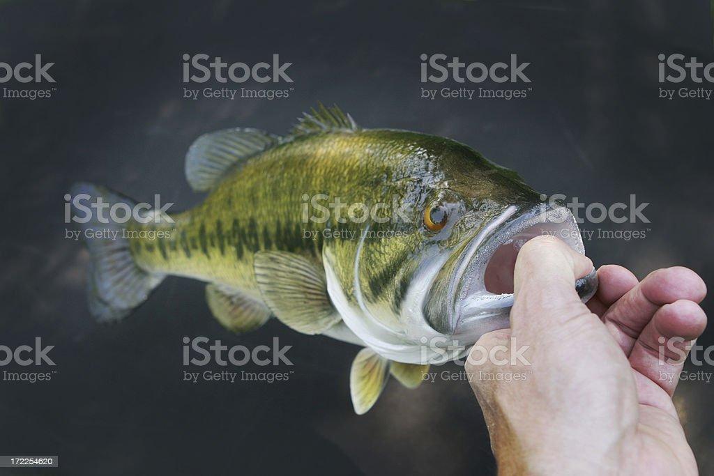 Largemouth Bass stock photo