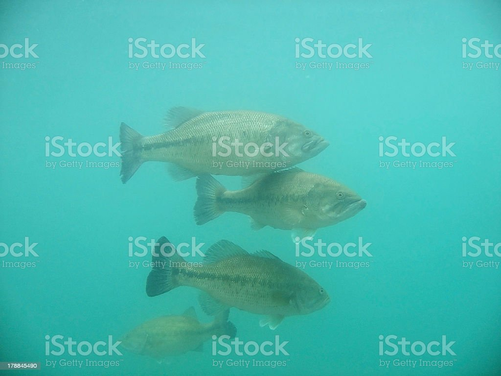 Largemouth Bass ( Micropterus salmoides ) royalty-free stock photo