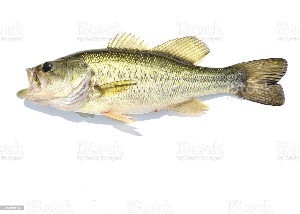 Large-mouth Bass royalty-free stock photo