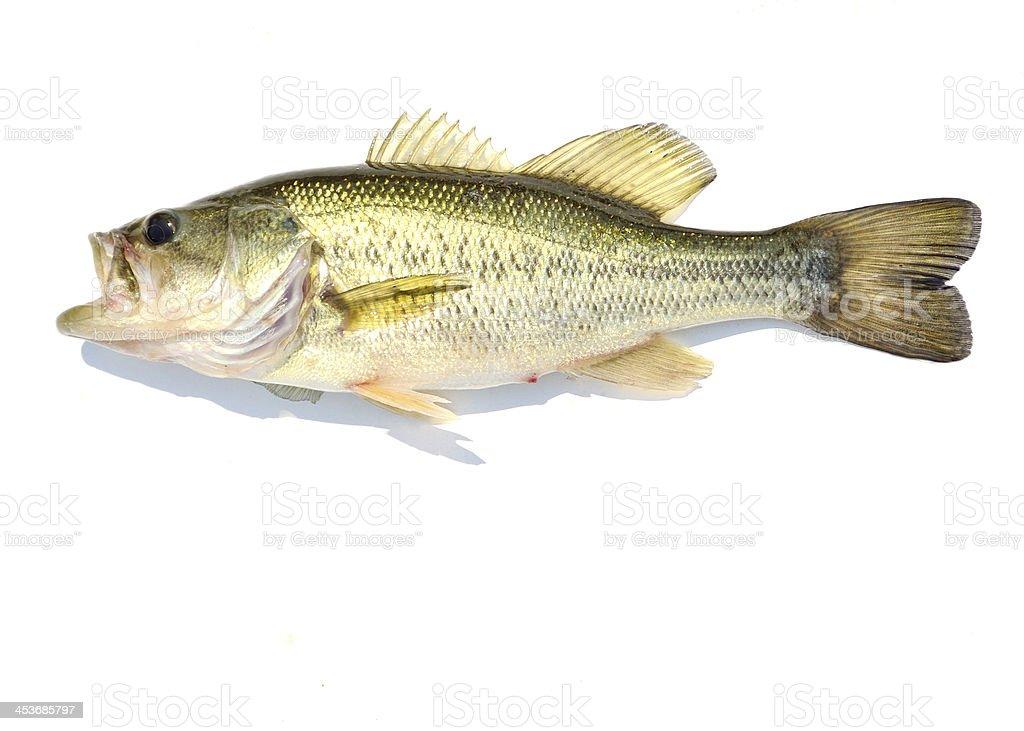 Large-mouth Bass stock photo
