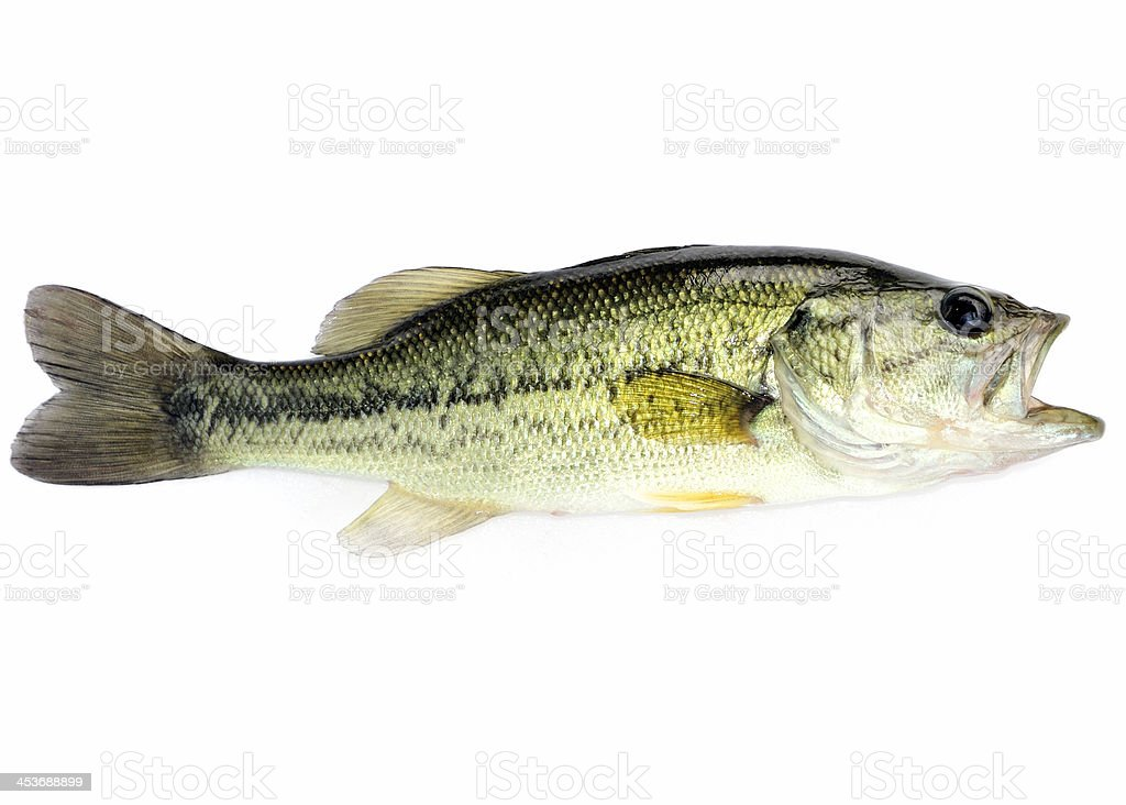 Largemouth Bass royalty-free stock photo