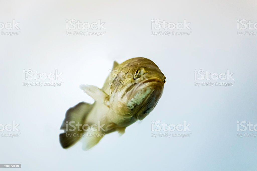 Largemouth bass (Micropterus salmoides) stock photo