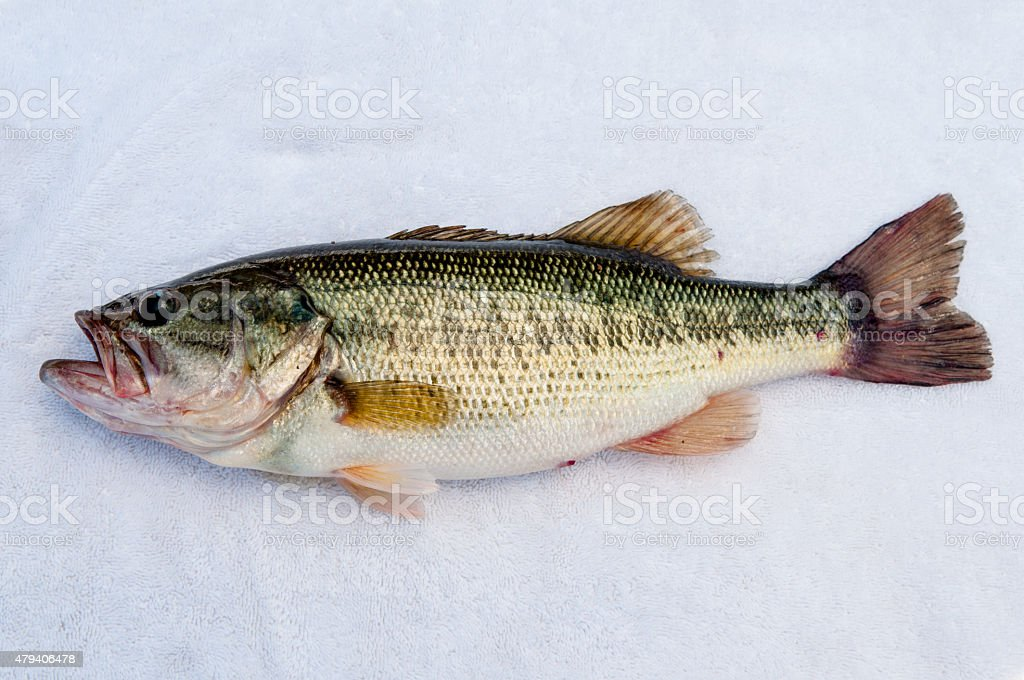 Largemouth Bass stock photo