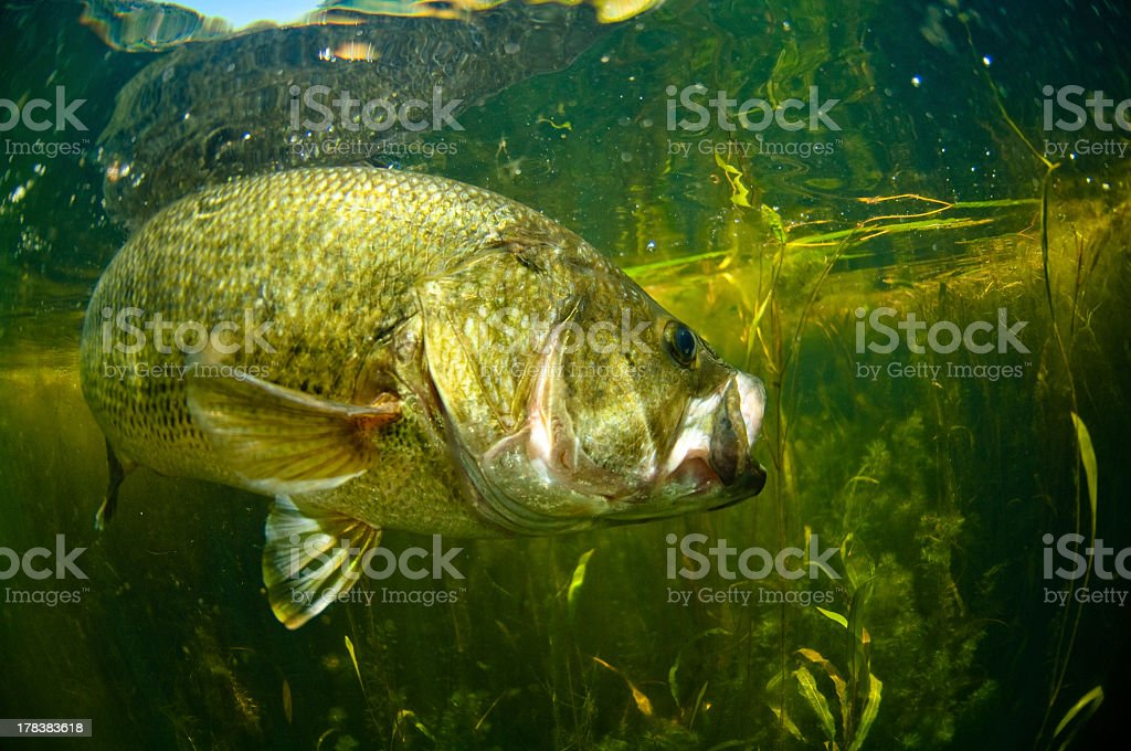 Largemouth bass swimming in water  stock photo
