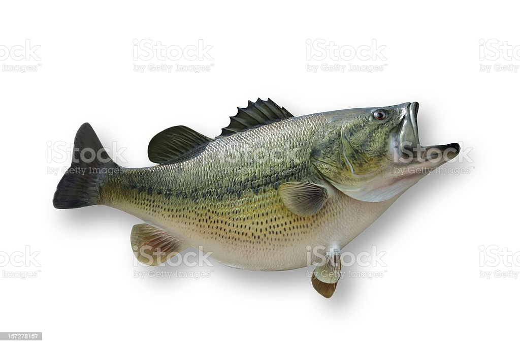 Largemouth Bass with Clipping Path royalty-free stock photo