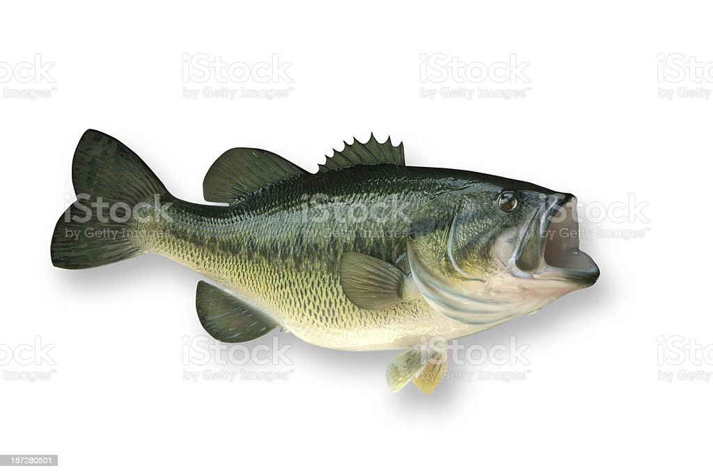 Largemouth Bass with Clipping Path stock photo