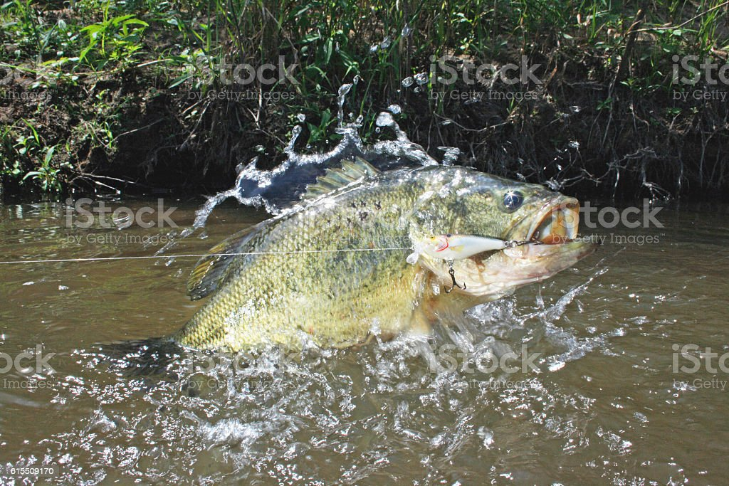 Largemouth Bass with Lure stock photo