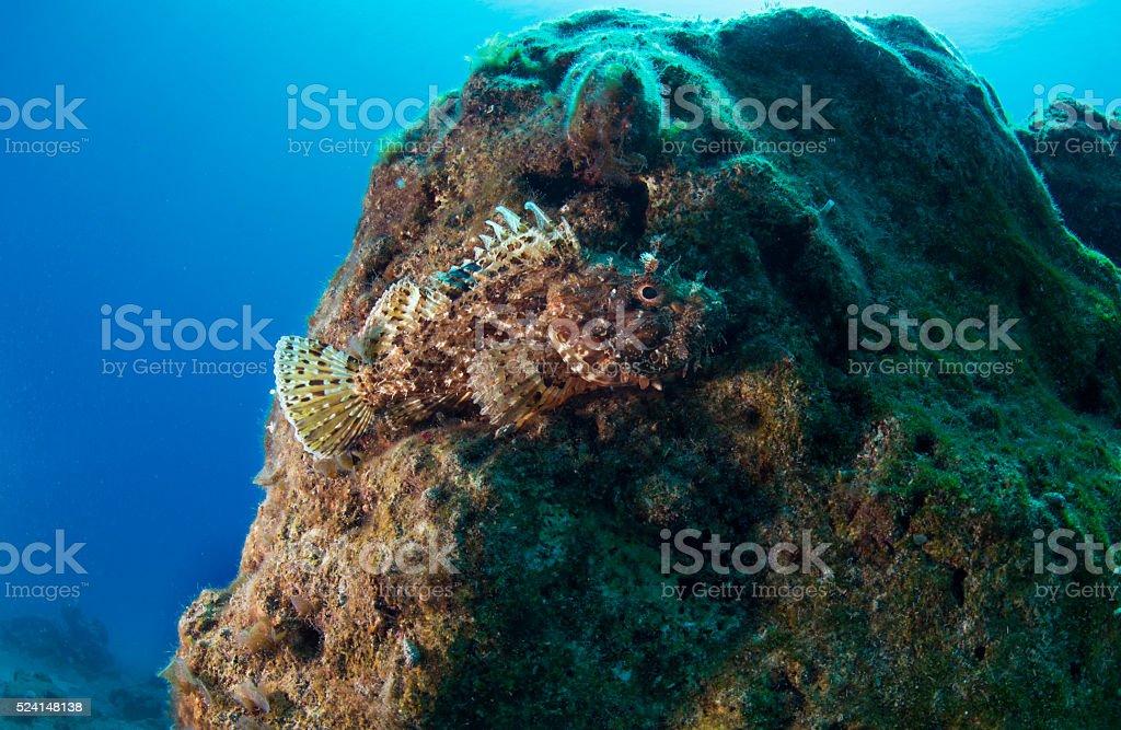 Largescaled scorpionfish stock photo