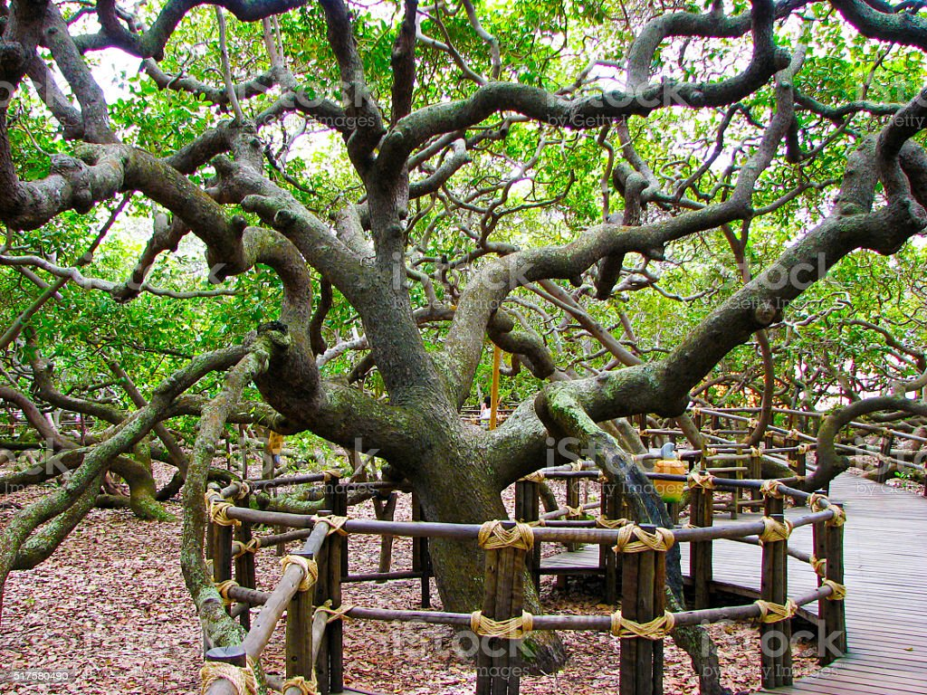 Largest cashew tree in the world stock photo