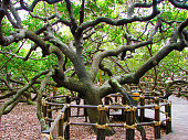 Largest cashew tree in the world
