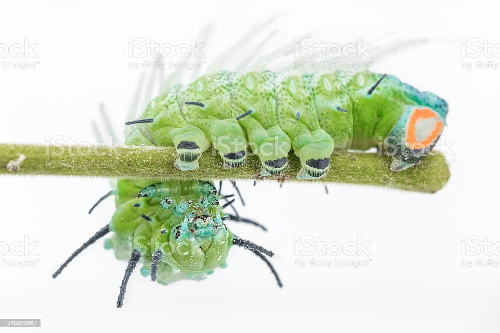 Largest caterpillar attacus atlas moth in white background stock photo