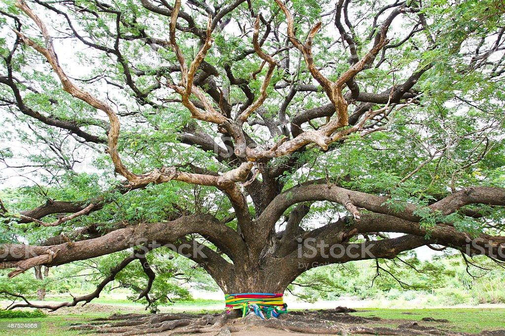Largest Monkey Pod Tree in Kanchanaburi, Thailand stock photo