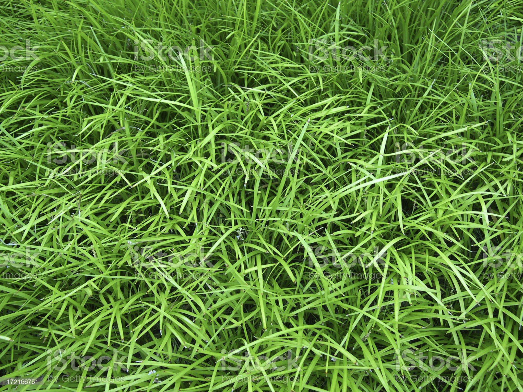 Lariope grass royalty-free stock photo