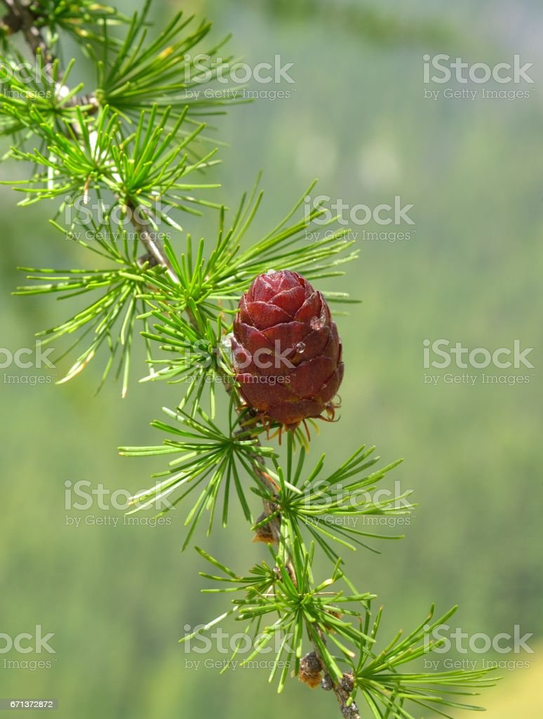 Larix decidua foliage with cones stock photo