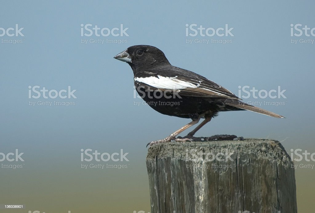 Lark Bunting stock photo