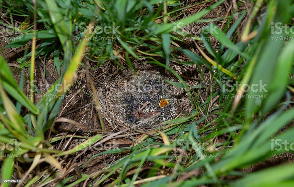 Lark nest with little birdies stock photo