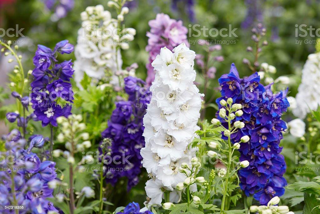 Larkspur flowers, Delphinium elatum stock photo