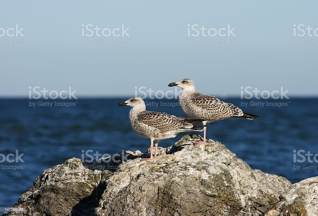 Larus argentatus Herring Gull stock photo