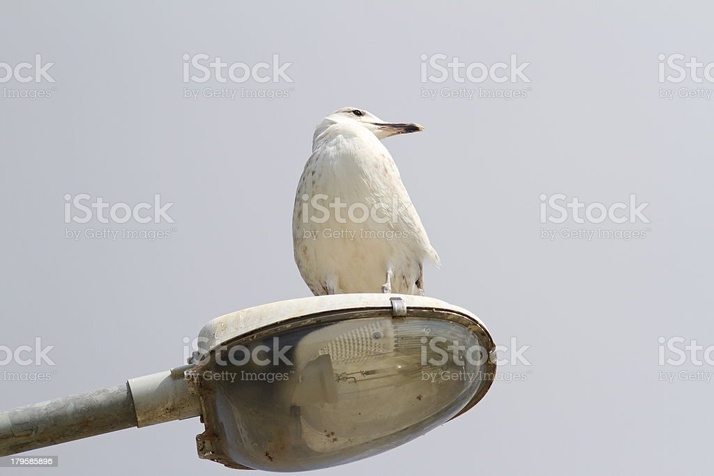 larus argentatus on an electric pile royalty-free stock photo