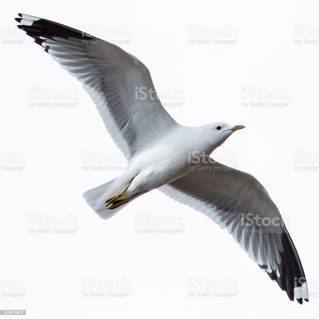 Larus canus, Common Gull stock photo
