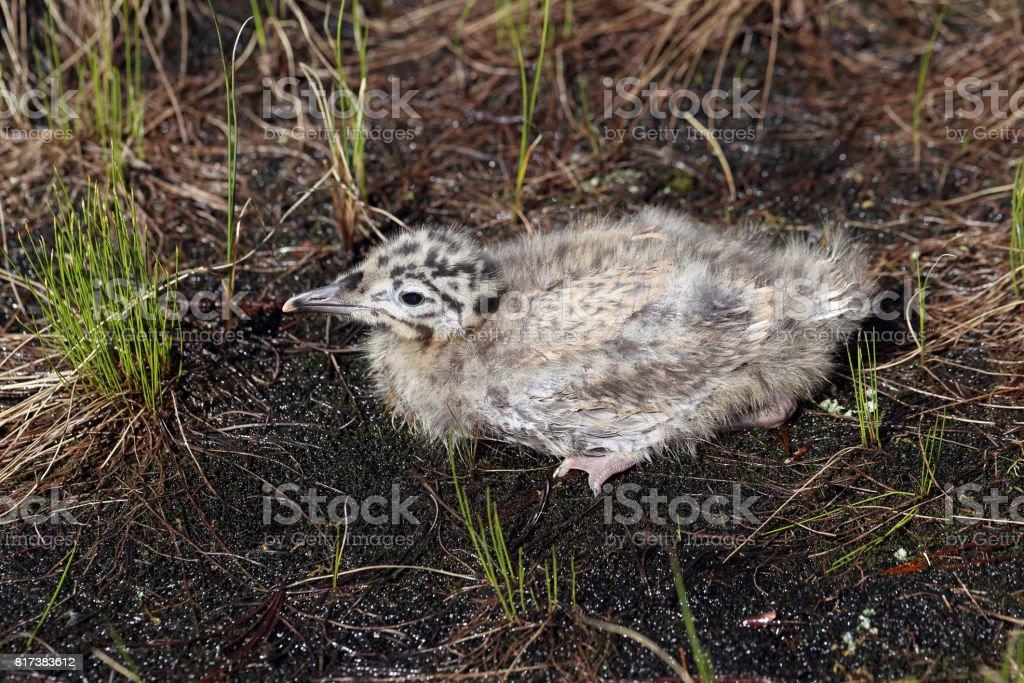 Larus heuglini. Gull chick hiding in the grass in the North of Siberia stock photo