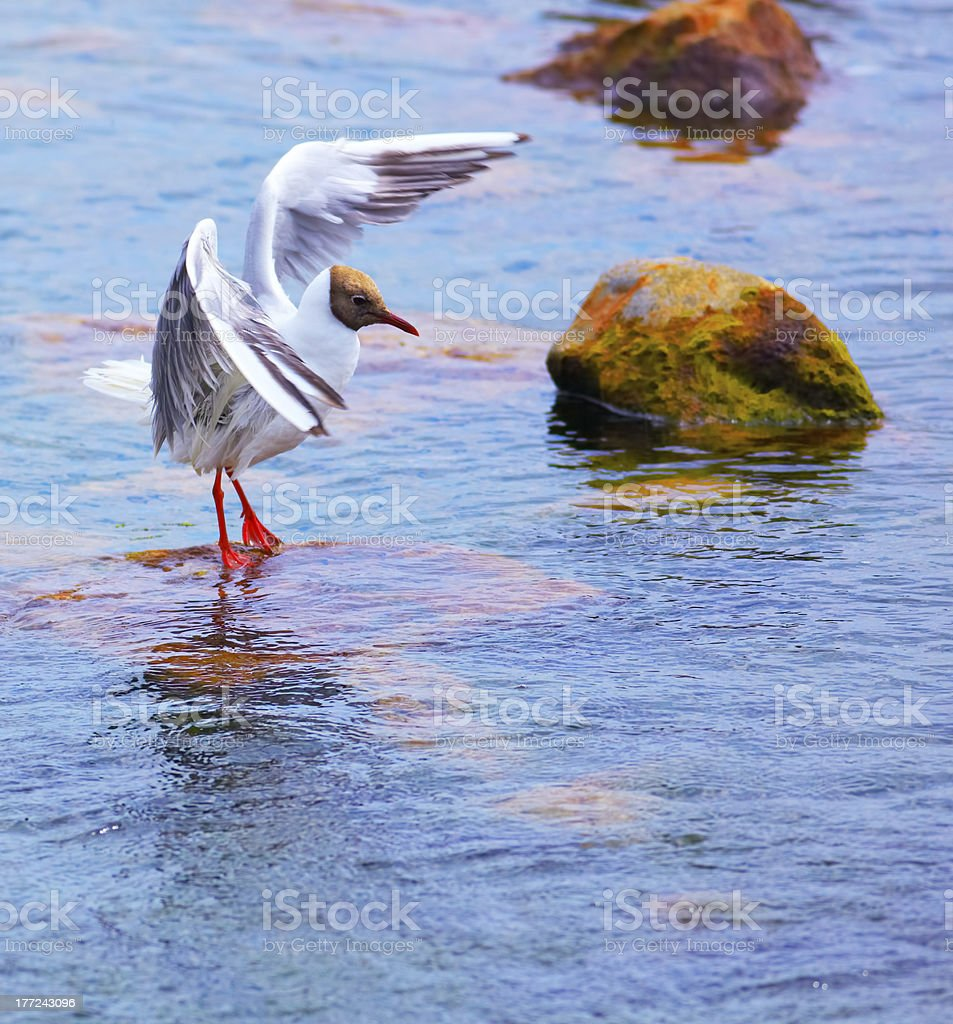 Larus ridibundus royalty-free stock photo