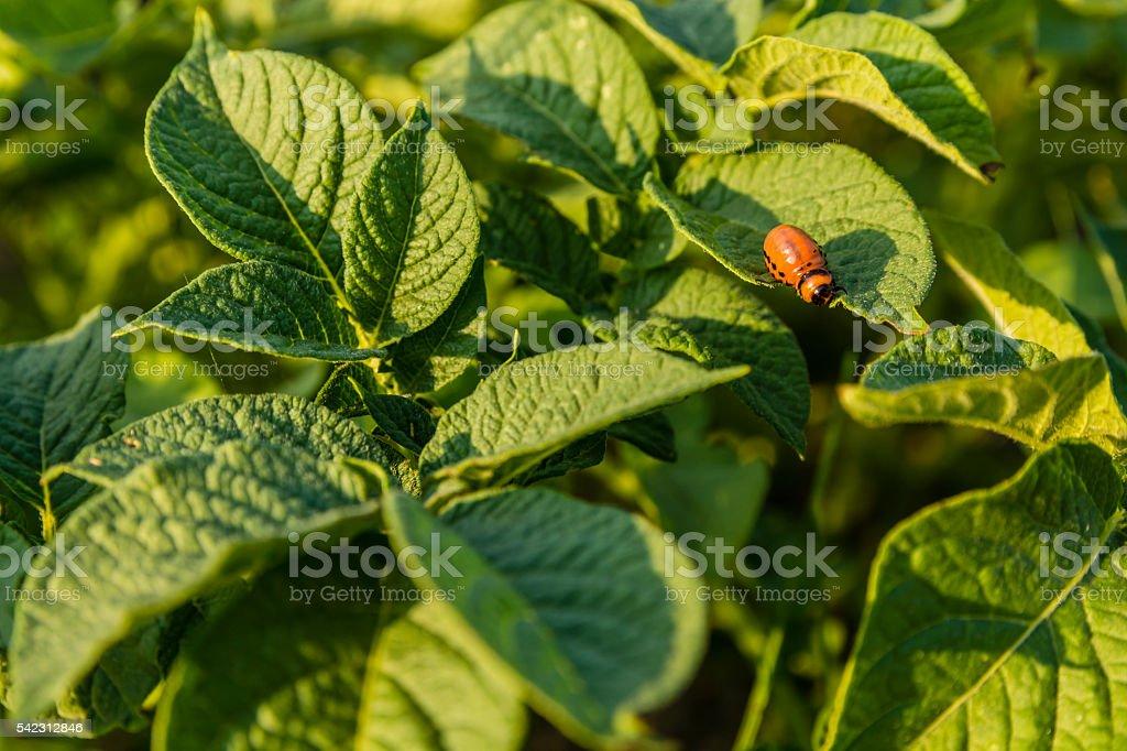 Larva of a Colorado beetle on a leaf. stock photo