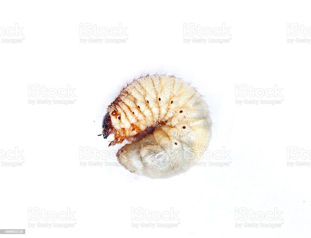 Larva of a Hercules beetle, Dynastes hercules stock photo