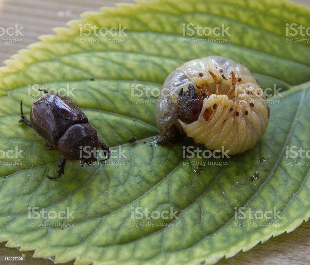 Larva of cockchafer royalty-free stock photo