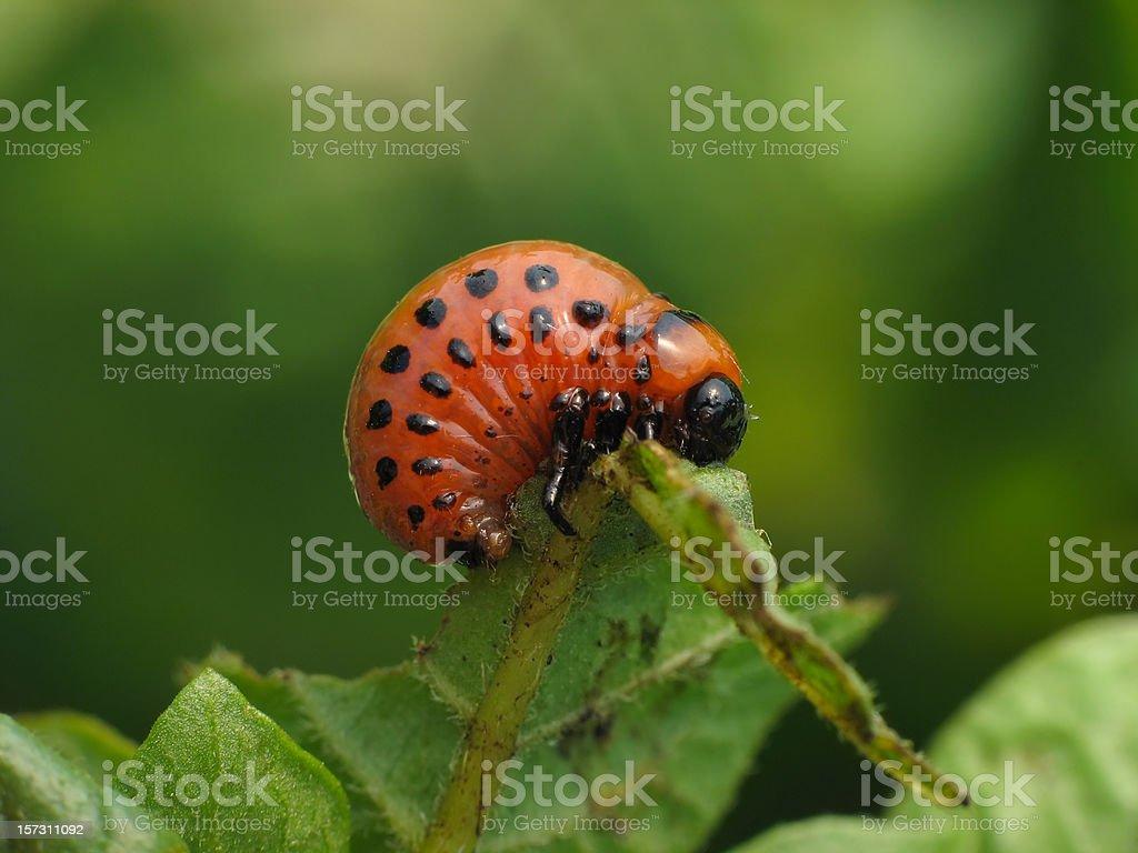 Larva of colorado beetle royalty-free stock photo