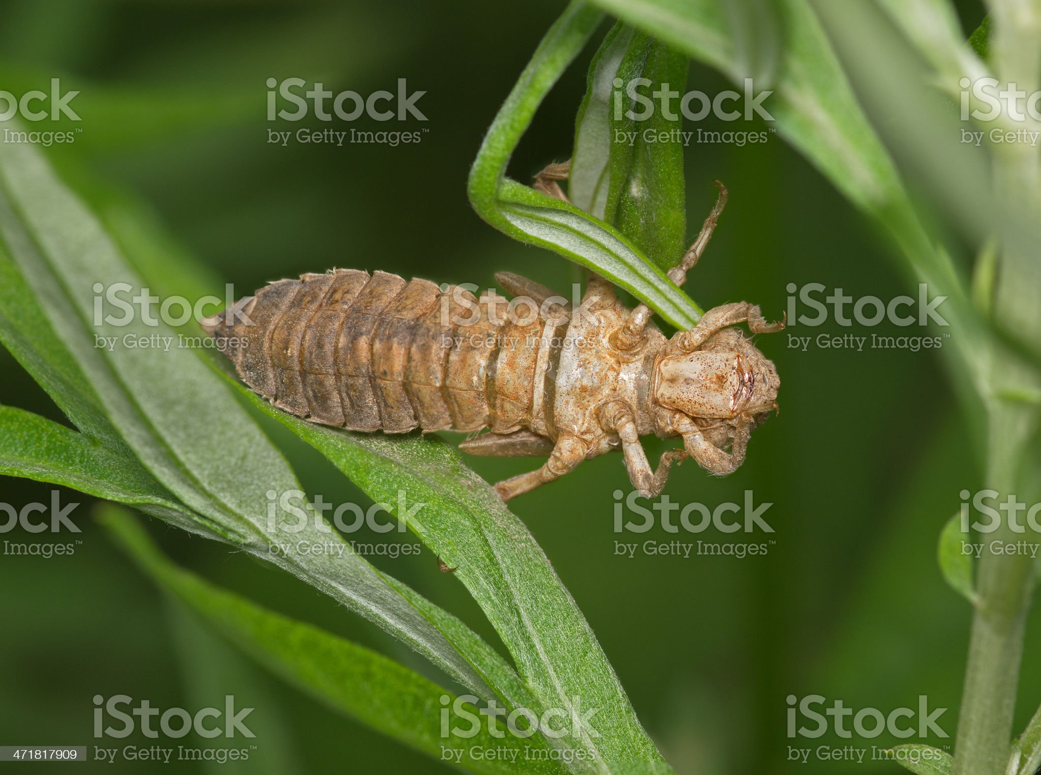 Larva of  dragonfly after a molt royalty-free stock photo