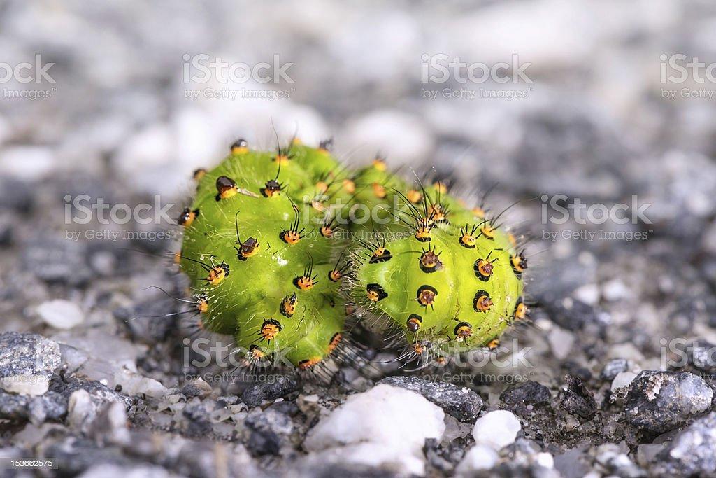 Larva of Saturnia pavonia or Small Emperor Moth stock photo