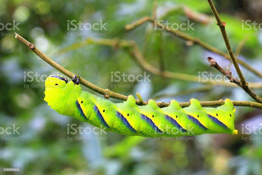 Larva of sphingidae stock photo