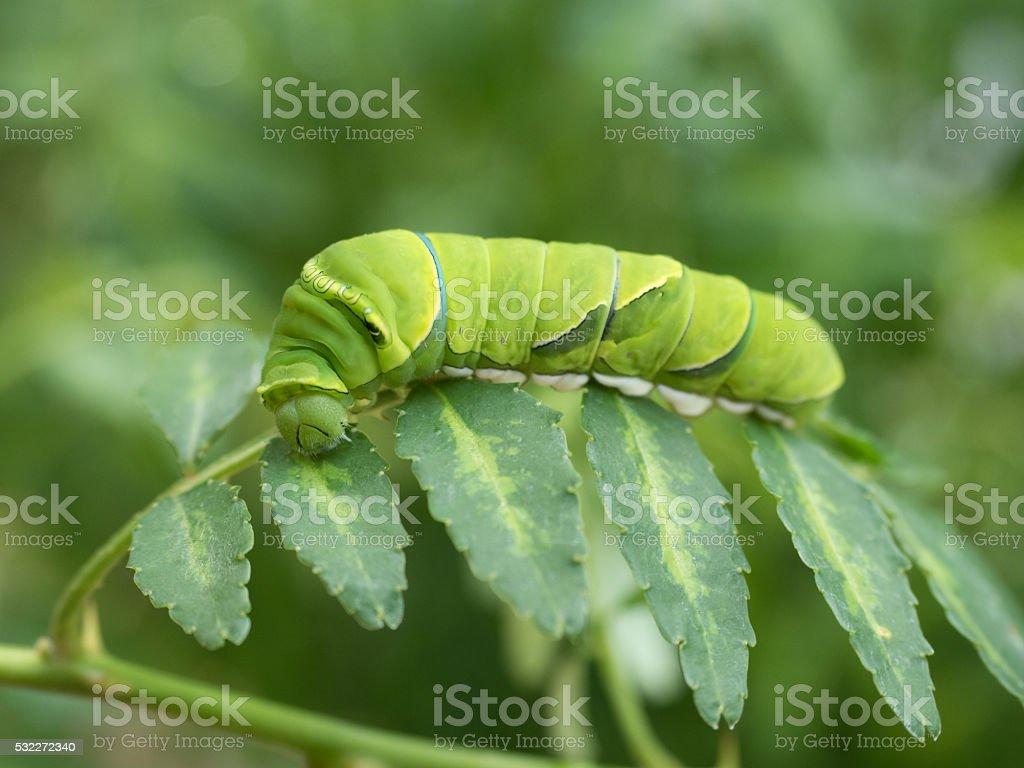 Larva of swallowtail stock photo