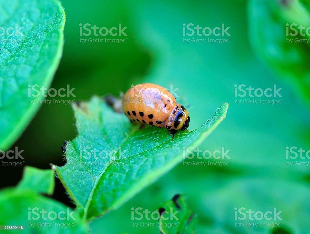 Larva of the Colorado beetle stock photo
